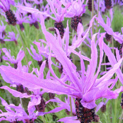 Lavender 'Flaming Purple'