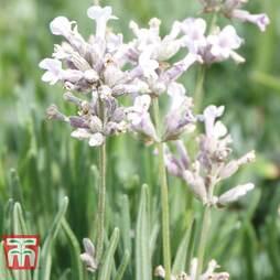 Lavender 'Rosea'