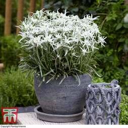 Leontopodium nivale subsp. alpinum 'Berghman'