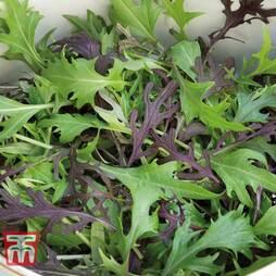 Salad Leaves 'Four Colour Mizuna Mixed'