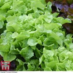 Lettuce 'Kyrio'