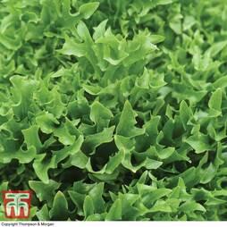 Lettuce 'Skilton'
