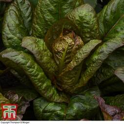 Lettuce 'Intred' (Romaine/Cos)