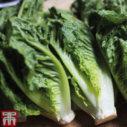 Lettuce 'Cos'