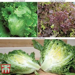 Lettuce Trio Collection