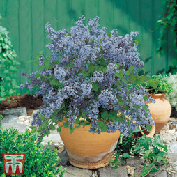 Lilac 'Dwarf Blue'
