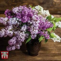 Lilac Fragrant Trio Collection