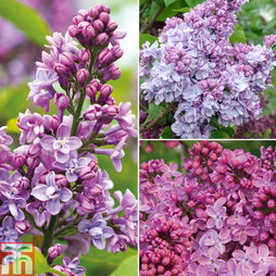 Nurserymans Choice Lilac Plants