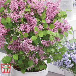 Lilac Dwarf 'Flowerfest Pink'