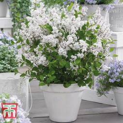 Lilac Dwarf 'Flowerfesta® White'