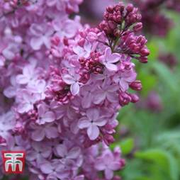 Lilac 'Esther Staley'