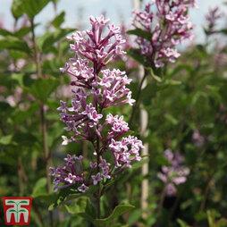 Lilac 'Josée'