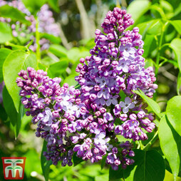 Lilac 'Belle de Nancy'