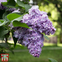 Lilac 'Michel Buchner'