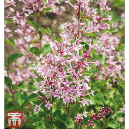 Lilac 'Bloomerang Pink Perfume'