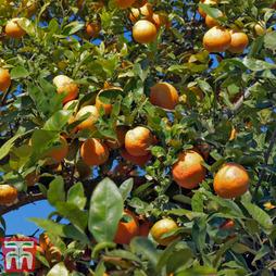 Rangpur Lime