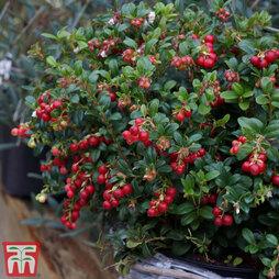 Lingonberry 'Miss Cherry'