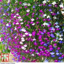 Lobelia 'Ultra Cascade Improved Mixed'