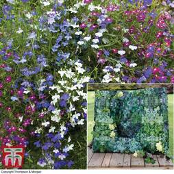 Lobelia erinus 'Ultra Cascade Mixed' Wall of Colour