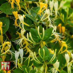 Honeysuckle 'Hall's Prolific'