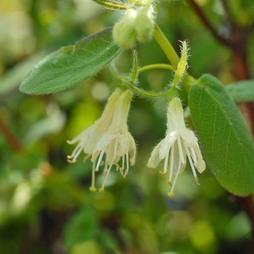 Lonicera caerulea var. kamtschatica