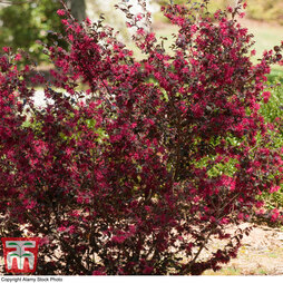 Loropetalum chinense var. rubrum 'Ever Red'