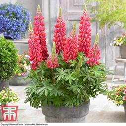 Lupin 'Red Rum'