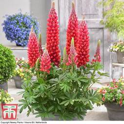 Lupin 'Beefeater'