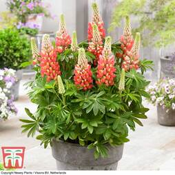 Lupin 'Tequila Flame'