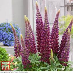 Lupin 'Masterpiece'