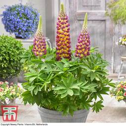 Lupin 'Manhattan Lights'