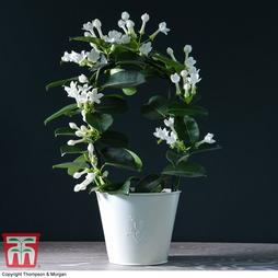 The Madagascar Jasmine - Gift