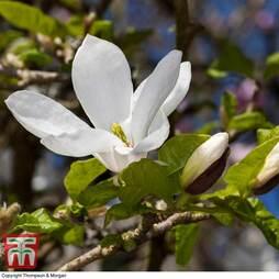 Magnolia kobus 'Norman Gould'
