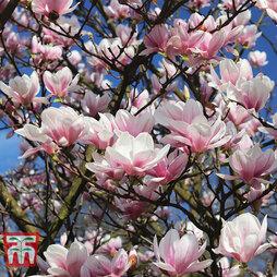 Magnolia campbellii 'Dick Banks'