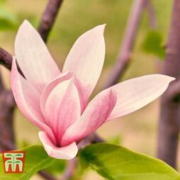Magnolia 'Sunset Swirl'