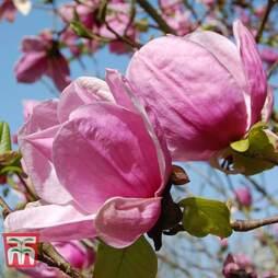 Magnolia 'Sara Koe'