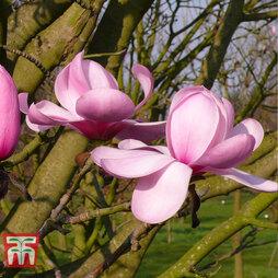 Magnolia sprengeri var. diva 'Copeland Court'