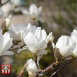 Magnolia denudata 'Giubiasco'