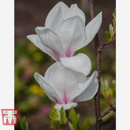 Magnolia 'Eskimo'