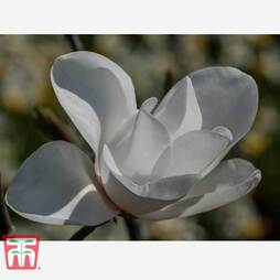 Magnolia 'Leda'