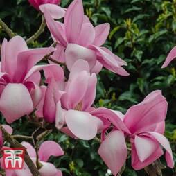Magnolia 'Princess Margaret'