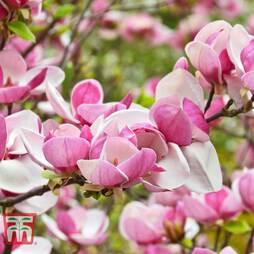 Magnolia 'Laura Saylor'