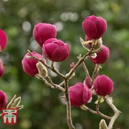 Magnolia 'Premier Cru'