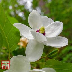 Magnolia sieboldii 'Colossus'
