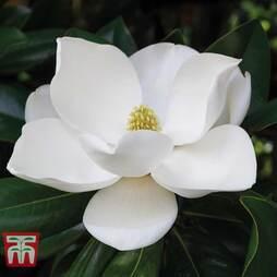 Magnolia grandiflora 'Alta'