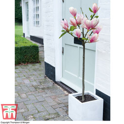Magnolia 'Red Lucky' (Patio Standard)