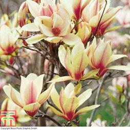 Magnolia 'Denudata Sunrise' (Patio Standard)