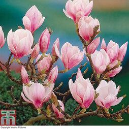 Magnolia Standard