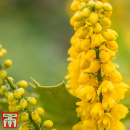 Mahonia x media 'Winter Sun'
