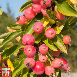 Crab Apple 'Adirondack'